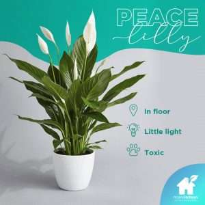 Peace Lilly is a good plant to have inside